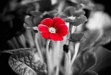 Flores negras y pensamientos / Flores de color