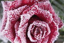 Rosas y nieve