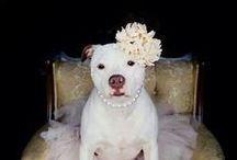 Pit Bulls / Pit Bulls - American Staffordshire Terrier