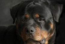 Rottweilers / Robust and powerful, the Rottweiler is happiest when given a job to perform. His intelligence, endurance and willingness to work make him suitable as a police dog, herder, service dog, therapy dog, obedience competitor and devoted companion. An inherent protector, the Rottweiler is self-confident and responds quietly and with a wait-and-see attitude to influences in his environment. He must be medium in size and his coat is black with rust to mahogany markings.