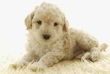 Poodles / The Poodle, though often equated to the beauty with no brains, is exceptionally smart, active and excels in obedience training. The breed comes in three size varieties, which may contribute to why Poodle is one of the most popular breeds according to AKC® Registration statistics. Poodles can be a variety of solid colors, including white, black, apricot and gray, but never parti-colored.