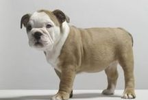Bulldog / Known for their loose-jointed, shuffling gait and massive, short-faced head, the Bulldog is known to be equable, resolute and dignified. A medium-sized dog, they are not your typical lap dog, but would like to be! They are one of the most popular breeds according to AKC® Registration Statistics due to their lovable and gentle dispositions and adorable wrinkles. The Bulldog may be brindle, white, red, fawn, fallow or piebald.