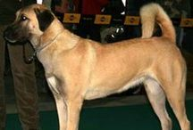 """ANATOLIAN SHEPHERD DOG / Large, rugged and powerful, the Anatolian Shepherd Dog is a working guard dog, possessing a superior ability to protect livestock. While not a """"glamour"""" breed, the Anatolian's loyalty, independence and hardiness is cherished by breeders and owners. The breed's coat can be short (one inch) or rough (approximately four inches), with all color patterns and markings, including fawn and brindle, equally acceptable."""