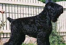 """BLACK RUSSIAN TERRIER / What's the word we're looking for? Imposing? Majestic? How about just plain """"big""""? This brawny guard dog can tip the scales at 140 pounds and stand as high as 30 inches at the shoulder. They're much taller when the huge, brick-shaped head is considered. The all-black double coat is warm enough to allow Black Russian Terriers to patrol some of the coldest habitable places on earth."""