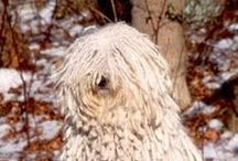 KOMONDOR / A large, muscular breed, the Komondor is mostly known for its unusually dense, protective coat of heavy white cords (which make him look like a giant mop!) that form naturally as the breed matures in age. The coat serves to cover vulnerable body parts in case of attack, helps him blend in with his flock and protects him from weather extremes. While he has been a working dog in Hungary for ten centuries, he is also found in the show and obedience rings in the United States.