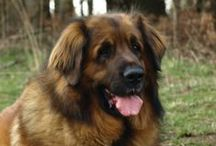 LEONBERGER / Calm, gentle and sweet, the Leonberger excels as a multi-purpose working dog, but its most important task is being a reliable family companion. They are friendly dogs that are willing to please, making them excellent therapy dogs. Despite the breed's lion-like looks and large size, the Leonberger is actually quite light on its feet and graceful in motion. They can be red, reddish brown, sandy, or yellow brown and always has a black mask.