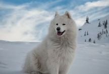 SAMOYED / Samoyeds, the smiling sledge dogs, were bred for hard work in the world's coldest locales. In the Siberian town of Oymyakon, for instance, temperatures of minus-60 degrees are common. The Sammy's famous white coat is thick enough to protect against such brutal conditions. Powerful, agile, tireless, impervious to cold—Sammies are drop-dead gorgeous but highly functional. Even their most delightful feature, a perpetual smile, has a practical function.