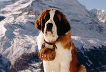 """ST. BERNARD / Not ranked particularly high in AKC registrations, this genial giant is nonetheless among the world's most famous and beloved breeds. The Saint Bernard's written standard abounds with phrases like """"very powerful,"""" """"extraordinarily muscular,"""" """"imposing,"""" and """"massive."""" A male stands a minimum 27.5 inches at the shoulder; females will be smaller and more delicately built."""