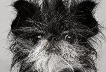 """AFFENPINSCHER / The Affenpinscher's apish look has been described many ways. They've been called """"monkey dogs"""" and """"ape terriers."""" The French say """"diablotin moustachu"""" (mustached little devil), and """"Star Wars"""" fans argue whether they look more like Wookies or Ewoks. But Affens are more than just a pretty face. Though standing less than a foot tall, these sturdy terrier-like dogs approach life with great confidence."""