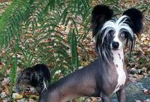 """CHINESE CRESTED / The Chinese Crested is an alert dog that enjoys human companionship. They are funny little dogs that like to please their owners, and upon finding something that amuses you, are likely to do it again to get your attention. Chinese Cresteds are said to be """"cat-like"""" and enjoy sitting in high places, the back of a couch or arm of a chair. Their activity level is medium to high but they enjoy quiet times with their family and adjust well to apartment living."""