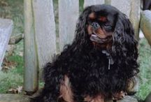 """ENGLISH TOY SPANIEL / The English Toy Spaniel is a square, snub-nosed toy weighing no more than 14 pounds. The large, domed head—with its long and lush ears, dark melting eyes, and chubby cheeks (described by fans as """"well-cushioned"""")— is a famous breed trait. Another is a coat that comes in four varieties, each with its own proper name: red and white (Blenheim); black and tan (King Charles); white, black, and tan (Prince Charles); and a solid red (Ruby). Blenheims often have a red mark, on top of the head."""