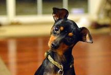 """MINIATURE PINSCHER / Miniature Pinschers are sturdy, compact dogs standing no more than 12.5 inches at the shoulder. The smooth, shiny coat comes in two shades of solid red, or chocolate-and-rust or black-and-rust. The dark, slightly oval eyes and high-set ears help bring out a self-possessed, """"big dog"""" personality. A distinguishing characteristic is the Min Pin's high-stepping """"hackney"""" gait, reminiscent of a hackney horse at the trot."""