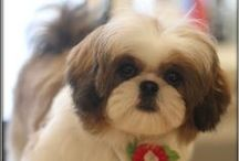 """SHIH TZU / These popular toy dogs can weigh between 9 to 16 pounds, and stand between 8 and 11 inches at the shoulder. Shi Tzus are surprisingly sturdy and solid for a small dog. The coat is worth the time you'll put into it—few dogs are as beautiful as a well-groomed Shih Tzu. And that face! Those big dark eyes, that sweet expression! It's no surprise that Shih Tzu fans have been so devoted to their little """"Lion Dogs"""" for a thousand years."""