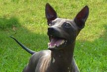 AMERICAN HAIRLESS TERRIER / The American Hairless Terrier is an affectionate, playful dog, who also tends to be fearless and feisty. The breed is an obvious favorite of allergy sufferers. They are relatively easy to train and are wonderful pets for older, considerate children. The breed also gets along well with other canines, cats and various other pets. They make good watchdogs as they bark at unfamiliar sounds.