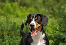 APPENZELLER SENNENHUNDE / The origin of the Sennenhunde is subject to debate. Archelological evidence shows that Spitz-type dogs have been present in the Alps for thousands of years. But many argue that there is no evidence to suggest that the Sennenhunde are direct descendants of these ancient dogs.