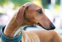 AZAWAKH / Tall and elegant, the Azawakh is a West African sighthound who originates from the countries of Burkina Faso, Mali, and Niger. The Azawakh has a short, fine coat which may come in any color or color combinations: red, clear sand to fawn, brindled, parti-color (which may be predominantly white), blue, black and brown. The head may have a black mask and there may be white markings on the legs, bib and at the tip of tail. There are no color or marking disqualifications in the breed.
