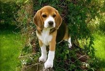 BEAGLE / Not only are Beagles excellent hunting dogs and loyal companions, they are also happy-go-lucky, funny, and—thanks to their pleading expression—cute. They were bred to hunt in packs, so they enjoy the company of other dogs and of people as well. Beagles love to follow their noses, which can sometimes get them into sticky situations. These dogs are solid, sturdy, and fairly easy to care for, but they do need to run around and let off steam.