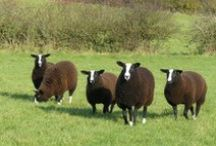 Rare Breeds / Photos of rare or endangered sheep, goats, chickens, ducks and geese.