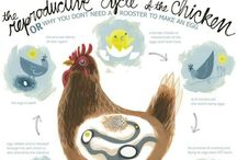 chickens / how to care for chickens