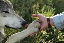 El lobo siempre fue amigo de caperucita (Wolf)