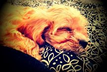 The Life of Marley / Cavoodle