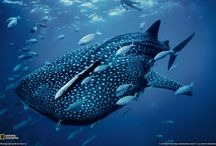 Pukel / It's Whale shark I know