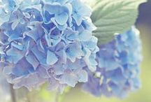 Hydrangeas / King of the old fashioned flowers