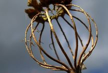 Poppy heads / I have always loved the wonderful architecture of poppy seed heads.