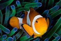 Marine Fishes / This is all about the beautiful creatures of the sea... Marine Fishes. Take a look around and get inspired by amazing fish pictures and informations. You are welcome to post your pictures too. Of course no nudity ;) and please connect with us on Facebook.  Please leave a comment on the last picture when you like to be added to the group board. Thank you.