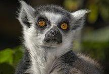 Lemuris