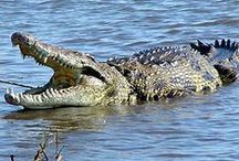 Crocodilo, Jacarés e Aligator