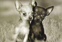 Raça Chihuahua