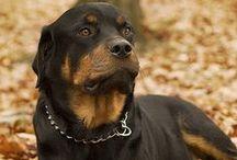 Raça Rottweiler