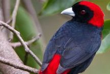 Birds ~ Cardinals, Finches & Tanagers / Birds that delight your eyes and hum a little tune now and then. / by Chrispy Critter