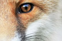 Foxes / by VM