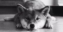 Shiba Inu / This is a board that has images of my favorite dog, the Shiba Inu.