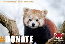 Help Save Red Pandas! / Red Panda habitat is disappearing quickly due to deforestation.  Fragmented habitat leaves this adorable species vulnerable to natural predators and to illegal wildlife hunting and poaching. RPN works with the local communities that live near red panda habitat, but the clock is ticking.