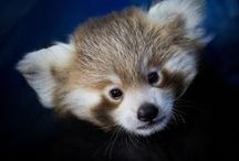 Red Pandas in the News! / What's going on with red pandas? Keep up to date on red panda news happening now (new zoo exhibits, research, new babies, etc)