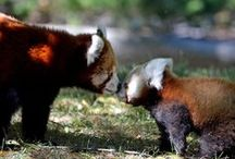 Zoos / US / Visit the red pandas that can be found at these AZA accredited zoos in the United States!