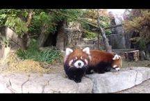 Red Panda Videos