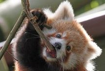 The Silly Side of Red Pandas / Cute photos of red pandas caught looking somewhat less than camera ready!