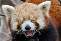 Fun Facts About Red Pandas / Red pandas are full of surprises!  Learn fun facts about the species (Ailurus fulgens fulgens and A. f. refulgens) and what makes them unique.