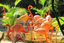 . Flamingo .