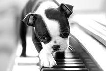 Boston Terrier - Beloved breed