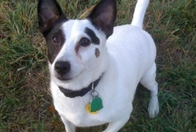 Bailey Boo - my Jack Russell / by Jason Hummel