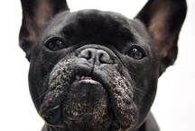 Awwww / French bulldogs and anything cute