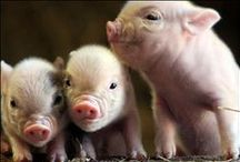 Cute Farmed Animals! / All of the adorable cows, pigs, chicken, turkeys and more!