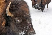 Buffalo/art / by Kathy Ashworth