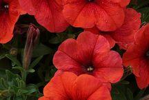 Piante annuali amiche / Piante e fiori che possono essere coltivati nello stesso vaso per una resa cromatica molto efficace