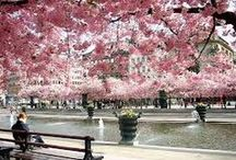 Cherry Blossoms  / Enjoying the simple and serene beauty of cherry blossoms.